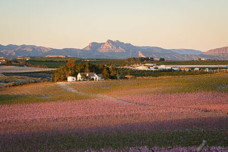 Flowering of the peach tree with the Sierra La Pila in the background in the Region of Murcia. Spain
