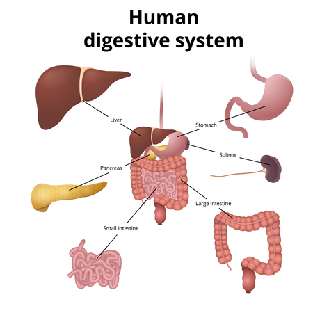 Illustration pour the location of the gastrointestinal tract in the body, the human digestive system - image libre de droit