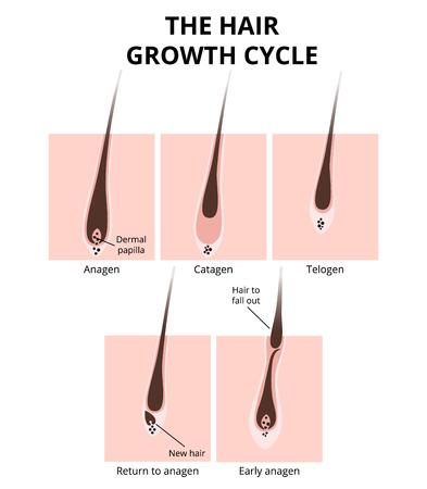 Ilustración de Hair structure - Imagen libre de derechos
