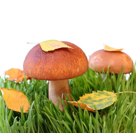 Two mushrooms in a grass isolated on white.