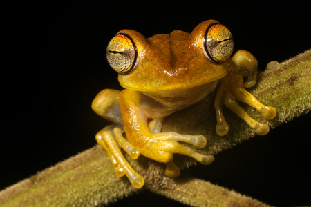 Yellow frog closeup