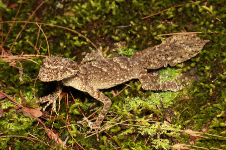 Saltuarius is a genus of larger Australian geckos, known collectively as leaf-tailed geckos. The genus was created in 1993 to accommodate former members of the genus Phyllurus.