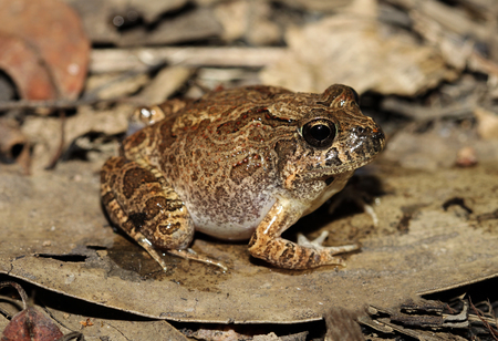 The ornate burrowing frog, is a species of ground frog native to Australia. It was moved to the genus Opisthodon in 2006, following a major revision of amphibians.
