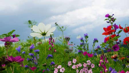 Photo pour Close-Up Of Pink Cosmos Flowers On Field - image libre de droit