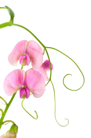 Pink flowers of the field peas. Background