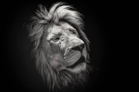 Photo pour Portrait of a beautiful lion with eyes closed, on the black background. King of animals - image libre de droit