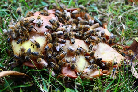 Bees on a pear