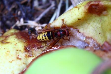 Hornet on a pear
