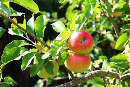 Apples on the apple tree