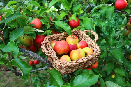 Apples in a basket on the apple tree
