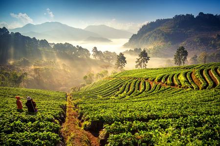 Photo pour Sunrise at strawberry field at doi angkang , chiang mai , Thailand. - image libre de droit