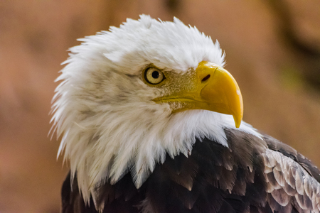 Photo for Bald eagle (Haliaeetus leucocephalus) head portrait looking to the right - Royalty Free Image