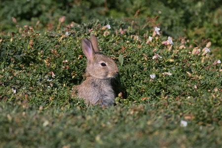 A young European Rabbit pokes its head out of its burrow on Skokholm Island