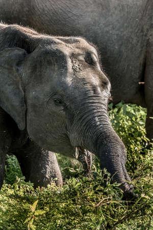 Foto de Herds of Elephants in the Udawalawe National Park on Sri Lanka. - Imagen libre de derechos