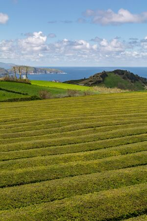 Foto de Gorreana Tea Plantation in Sao Miguel Island, Azores, Portugal. Tea fields surrounded by green landscape. Overcast sky. Tea cultivation. Atlantic ocean in the background. - Imagen libre de derechos