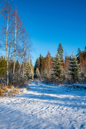 Photo pour sunny day in forest in snowy winter time with blue sky and white snowflakes - image libre de droit