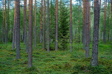 Foto de pine tree forest with tree trunks and green forest bed in summer - Imagen libre de derechos