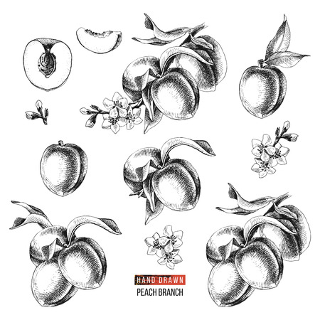 Illustration pour Black and white set of hand drawn peach fruits, branches, flowers and sliced pieces. Vector illustration - image libre de droit