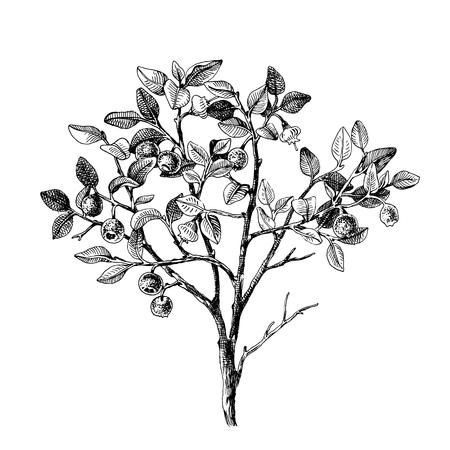 Illustration pour Hand drawn bilberry bush wih flowers and ripe berries. Vector illustratration - image libre de droit
