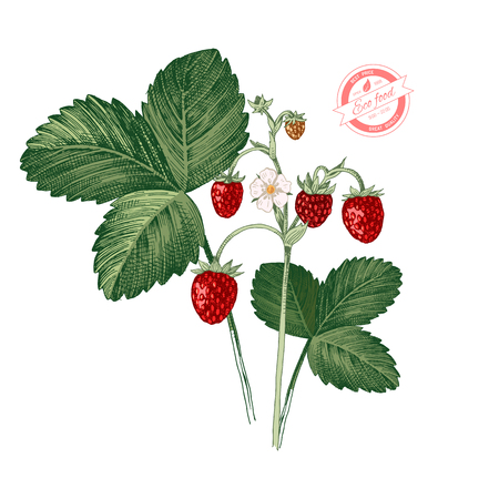 Illustration pour Hand drawn colorful wild strawberry plant with ripe berries, flowers and leaves. Vector illustration - image libre de droit