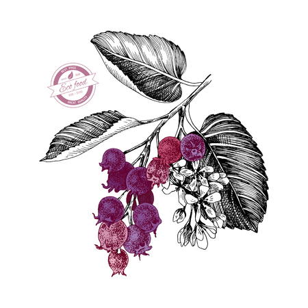 Illustration for Hand drawn branch of shadberries. Vector illustration - Royalty Free Image