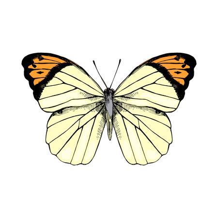 Illustration pour Colorful hand drawn Great Orange Tip - Hebomoia glaucippe - butterfly. Vector illustration - image libre de droit