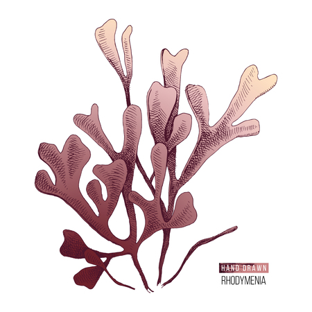 Illustration pour Hand drawn colorful rhodymenia palmata seaweed isolated on white background. Vector illustration - image libre de droit