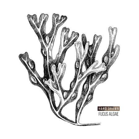 Illustration pour Hand drawn Fucus algae isolated on white background. Vector illustration - image libre de droit