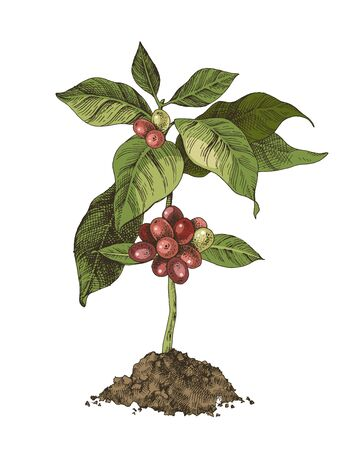 Illustration for Young coffee tree with beans - Royalty Free Image