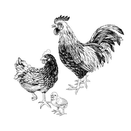 Illustration pour Hand drawn rooster, hen and chicken. - image libre de droit