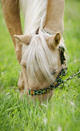 palomino horse in summer close up grazing