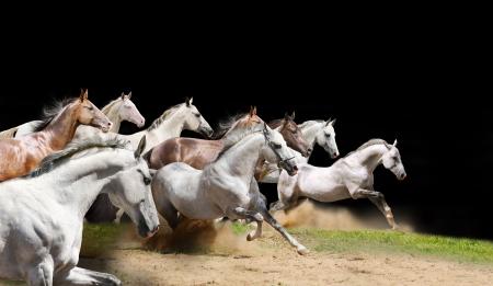 purebred horses herd on black