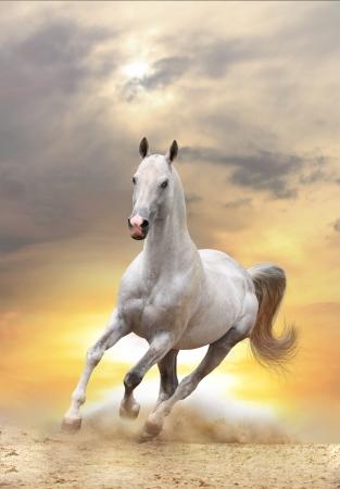 white horse in sunset