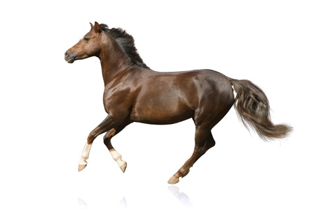 Photo pour horse isolated galloping - image libre de droit