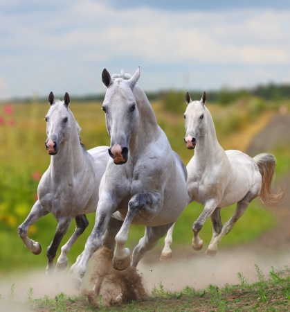 white stallions in dust running
