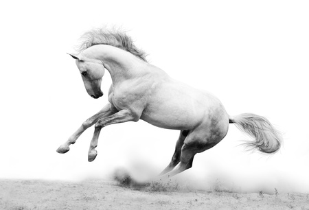 silver-white stallion in dust