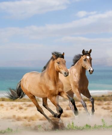 Photo pour horses in desert - image libre de droit