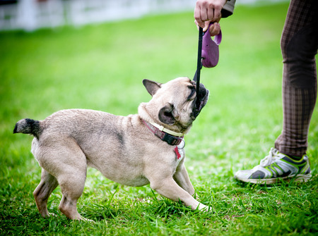 French bulldog male pulling over a leash from his owner's hands