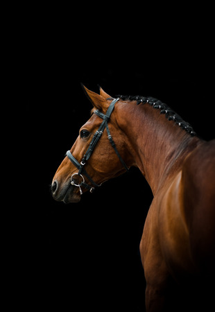 Bay thoroughbred dressage horse over a black background