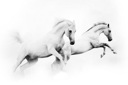 Photo pour two powerful snow white horses jumping over a white background - image libre de droit