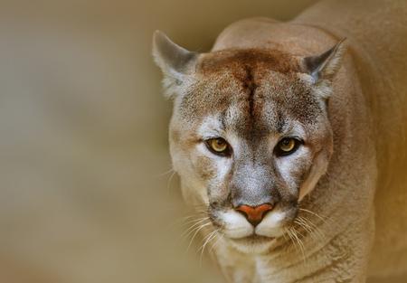 Foto de Cougar or puma is looking at camera - Imagen libre de derechos