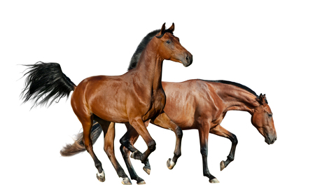 Two bay horses isolated over a white background