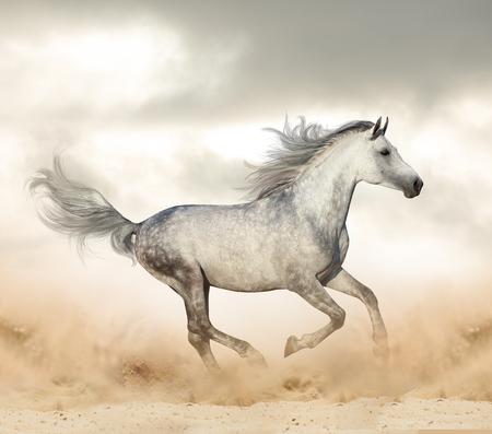 Photo pour Beautiful arabian stallion  in desert runninf wild - image libre de droit