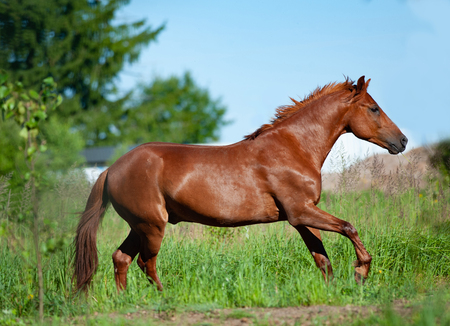 Photo pour Chestnut horse running in freedom in the summer field - image libre de droit