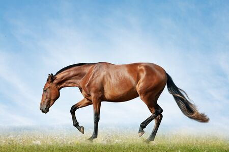 Bay horse in the field on freedom