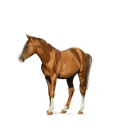 Photo pour Chestnut horse isolated over a white background - image libre de droit