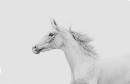 White arabian horse on a white sky background