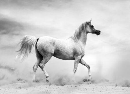 Photo pour Arabian horse in the desert, black and white shot - image libre de droit