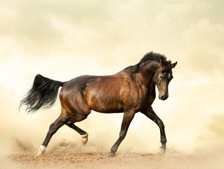 Photo pour Bay saddle horse in a desert showing movements - image libre de droit