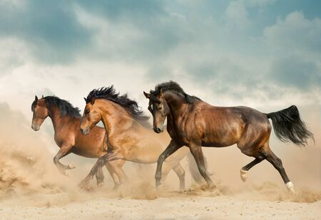 Photo pour Beautiful bay horses running in desert on freedom - image libre de droit